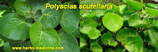 Breast pain use  Polyscias Scutellaria