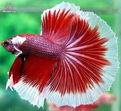 ikan laga