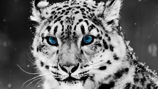 Snow Leopard Puzzle