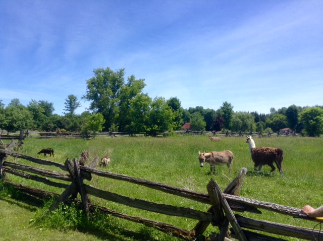 animals in a field near Kemptville, Ontario