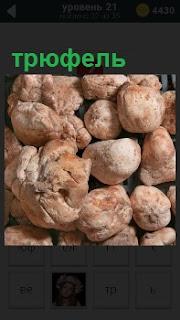 Самый дорогой гриб в мире трюфель лежит в бесчисленном количестве навалом