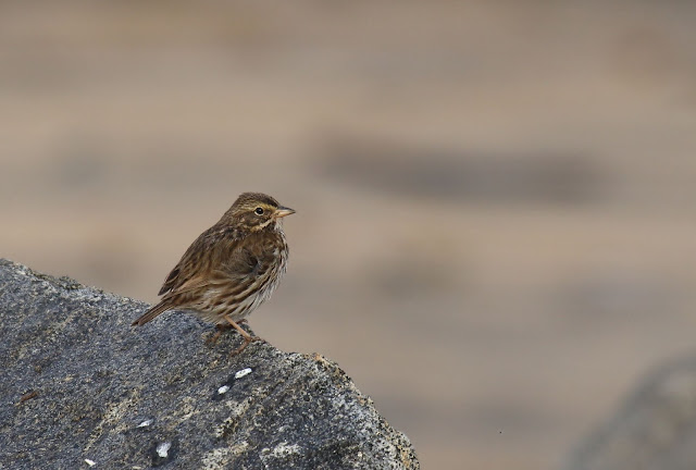 Belding's Savannah Sparrow in Imperial Beach