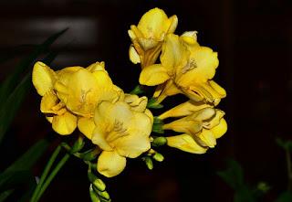 Bunga Freesia kuning