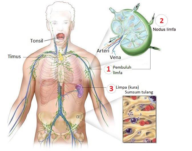 Sistem Limfatik Pengertian Bagian Dan Fungsi Info Pendidikan Dan Biologi