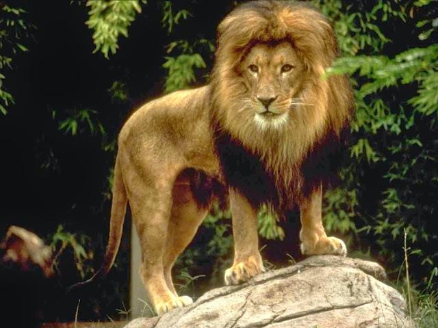 Panthera-leo