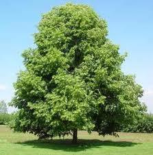 Tiglio selvatico albero bello resistente e frugale for Tiglio albero