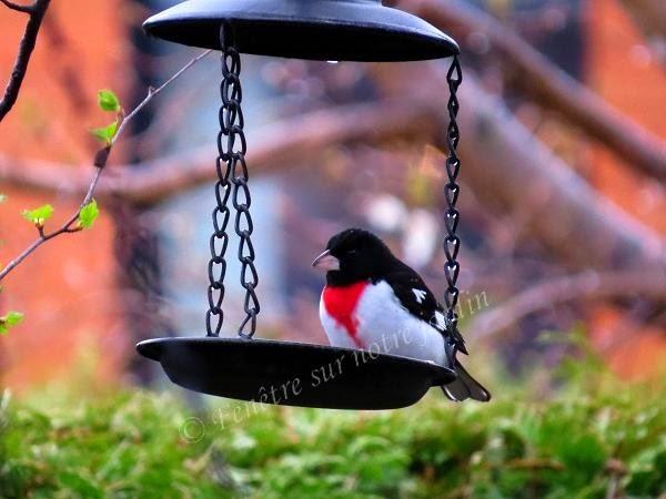 fen tre sur mes photos cardinal poitrine rose