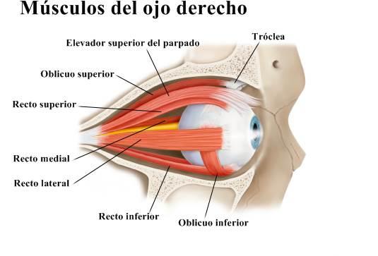 Músculos del ojo derecho