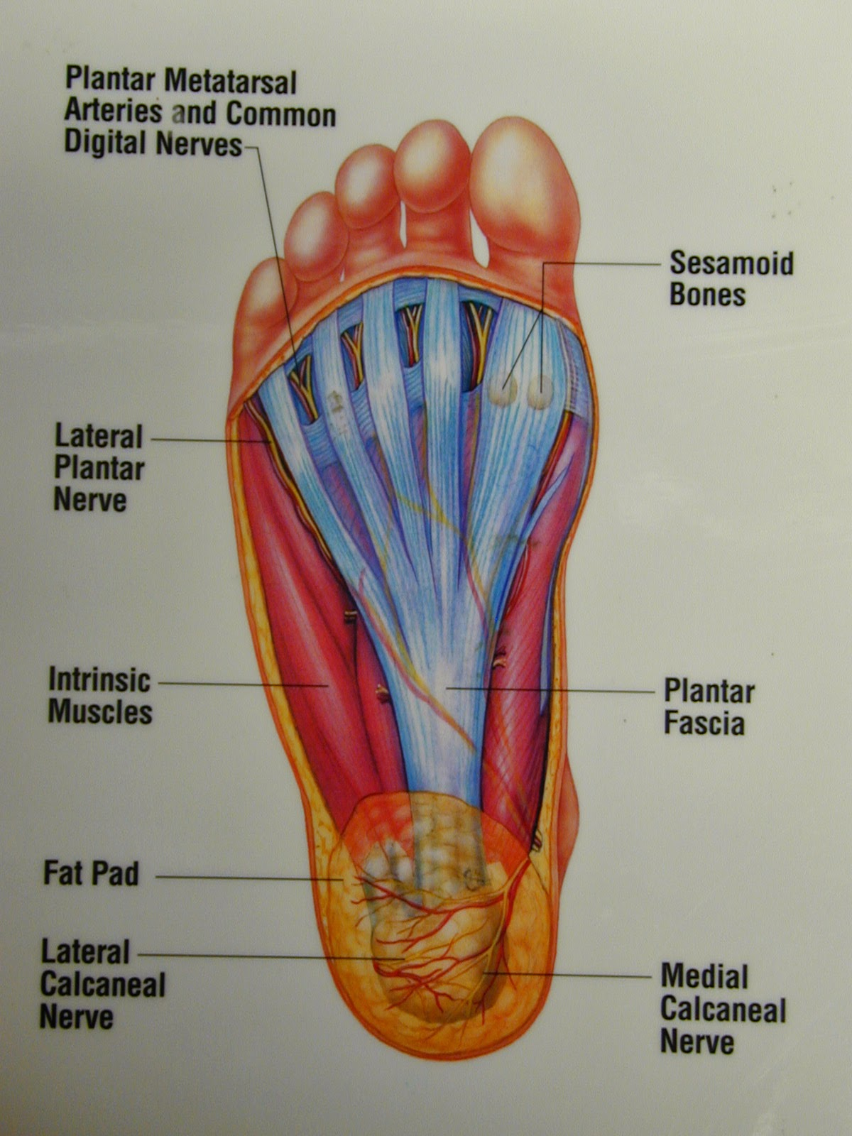 plantar fasciitis is the most common cause of heel pain the pain is caused by inflammation of the tissue along the bottom of your foot that connects your  [ 1200 x 1600 Pixel ]