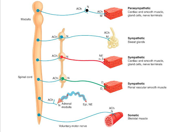 Neurotransmitter Chemistry of the Autonomic Nervous System ...