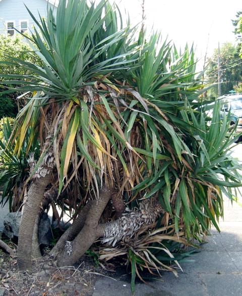 Seattle Garden Ideas How Do You Say Yucca?
