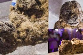 Ilmuwan Mencoba Kloning Singa Zaman Es