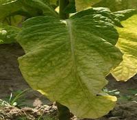 folha do tabaco