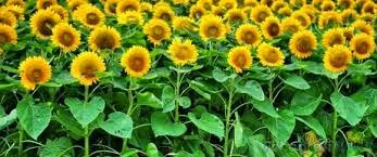 http://rajaramuan.blogspot.com/2014/09/mengenal-bunga-matahari.html