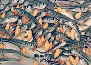 Cara Memelihara Ikan Arwana Yang Baik Bagi Pemula