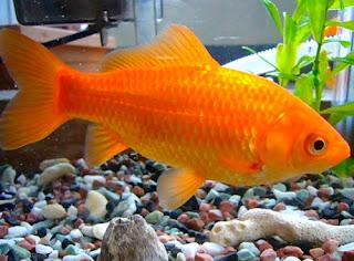 Bagi Anda yang ketika ini tengah memelihara ikan Ciri-ciri Ikan yang Kekurangan Oksigen