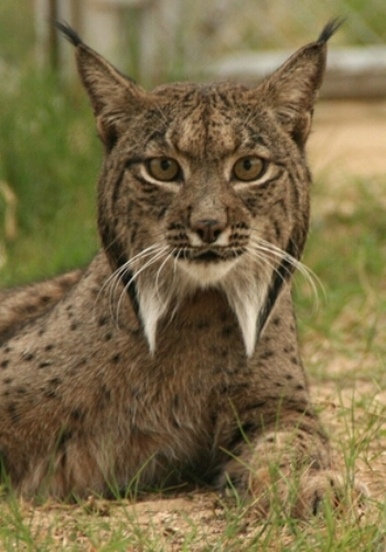 lince-iberico-cautiverio