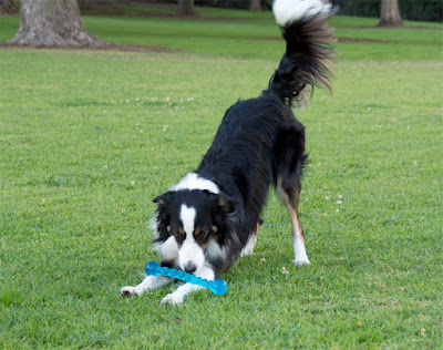 A border collie playing with a Kong Safestix toy