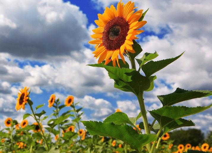 Berbagai Manfaat Dan Kegunaan Dari Bunga Matahari Alam Pedia