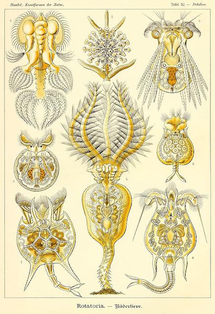 Lámina ilustrada de rotíferas