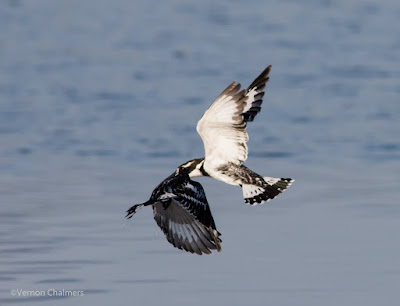 Pied Kingfishers Woodbridge Island, Cape Town (Canon EOS 7D Mark II / 400mm lens)