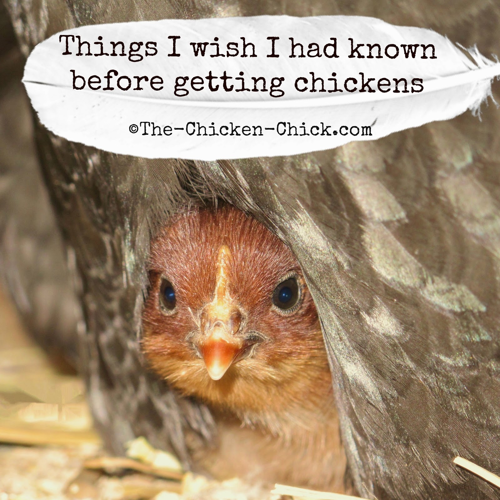 Some lessons in chicken care are painful and expensive to learn by experience, so in the hope of sparing some growing pains for those about to embark on chicken-keeping, my Facebook fans and I have written a of things we wish we had known before taking the chicken plunge.