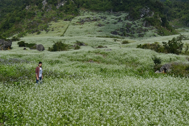 December - The season of white Cauliflower blooms on Moc Chau Plateau 3
