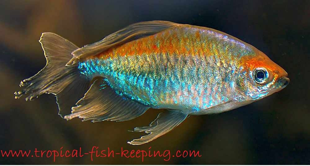 Gambar Profil Lengkap Ikan Hias Congo Tetra  Dan Cara Merawatnya