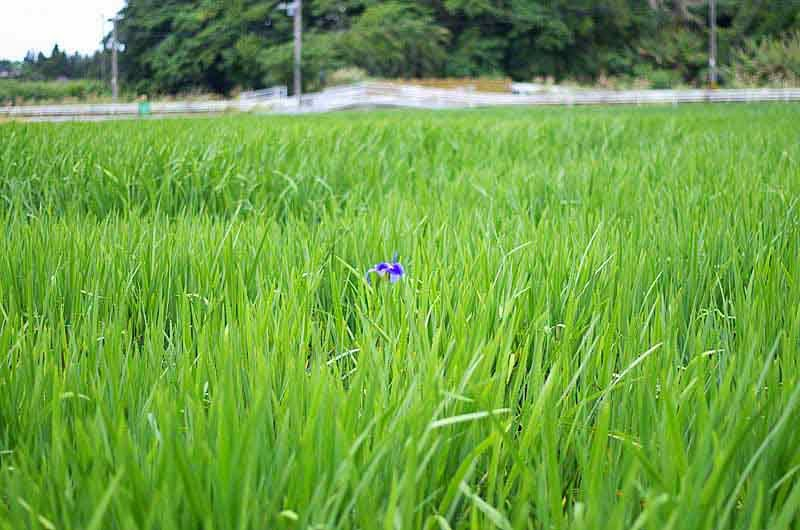 one visible iris in entire field of green