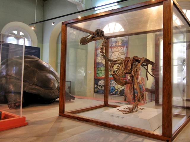 Esqueleto de pájaro Dodo en Museo de Historia Natural de Mauricio