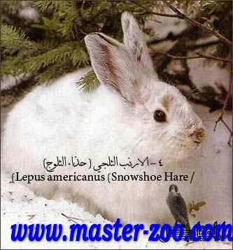 ماهو ارنب الحذاء الثلجى ؟