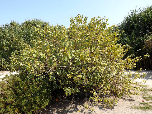 Shomudro Joba Or Sea Hibiscus Talipariti Tiliaceum