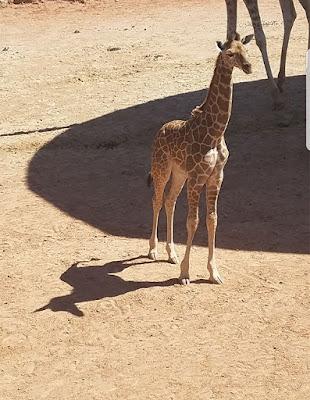 inanılmaz gölgeler zürafa