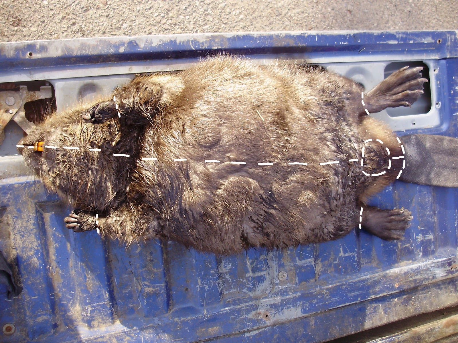 b74dfcad4ca71 Wild Wisconsin: So, You Want to Eat a Beaver