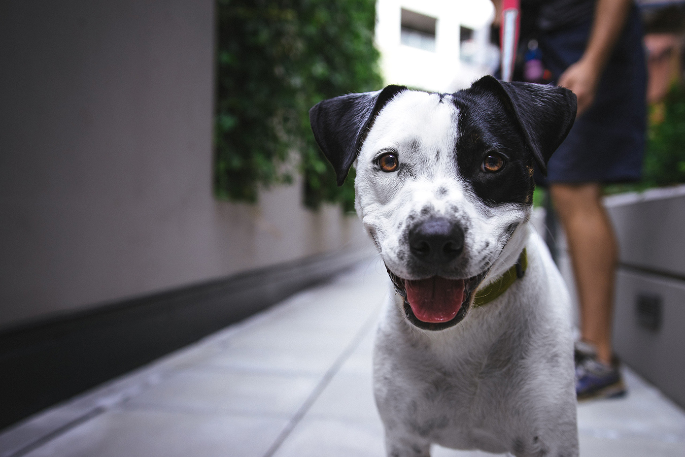 Smiling dog with a black eye patch on the street with his owner