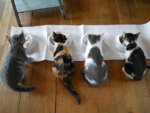 Cara Membuat Makanan Kucing Kampung Sendiri Di Rumah