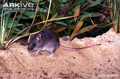 Ratón bastardo fumoso Pseudomys fumeus