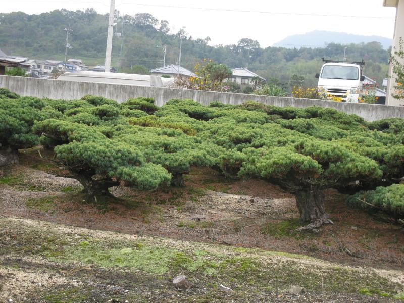 matsu bonsai la culture des pins en plein champs par ma tre koji hiramatsu. Black Bedroom Furniture Sets. Home Design Ideas