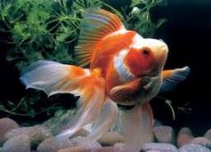 Inilah Jenis Ikan Koki Beserta Gambar Ikan Koki rukyn
