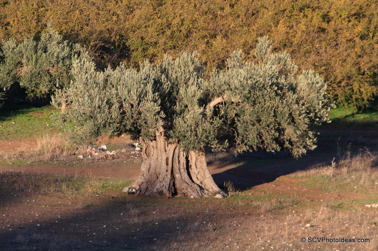 Ancient Olive in the plain