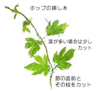 ホップの挿し木