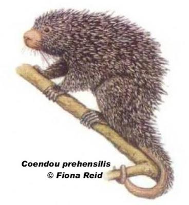Coendou prehensilis