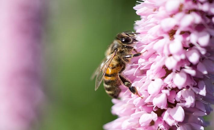 inraa veille scientifique europe sauver les abeilles en structurant la fili re apicole. Black Bedroom Furniture Sets. Home Design Ideas