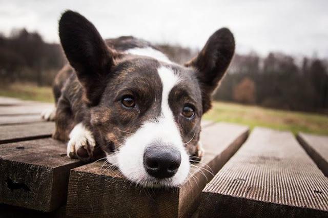 welsh corgi, pies w górach, góry z psem, w góry z psem, pies w rodzinie, kupno psa, wakacje z psem, podróże z psem, welsh corgi, corgi, pies idealny