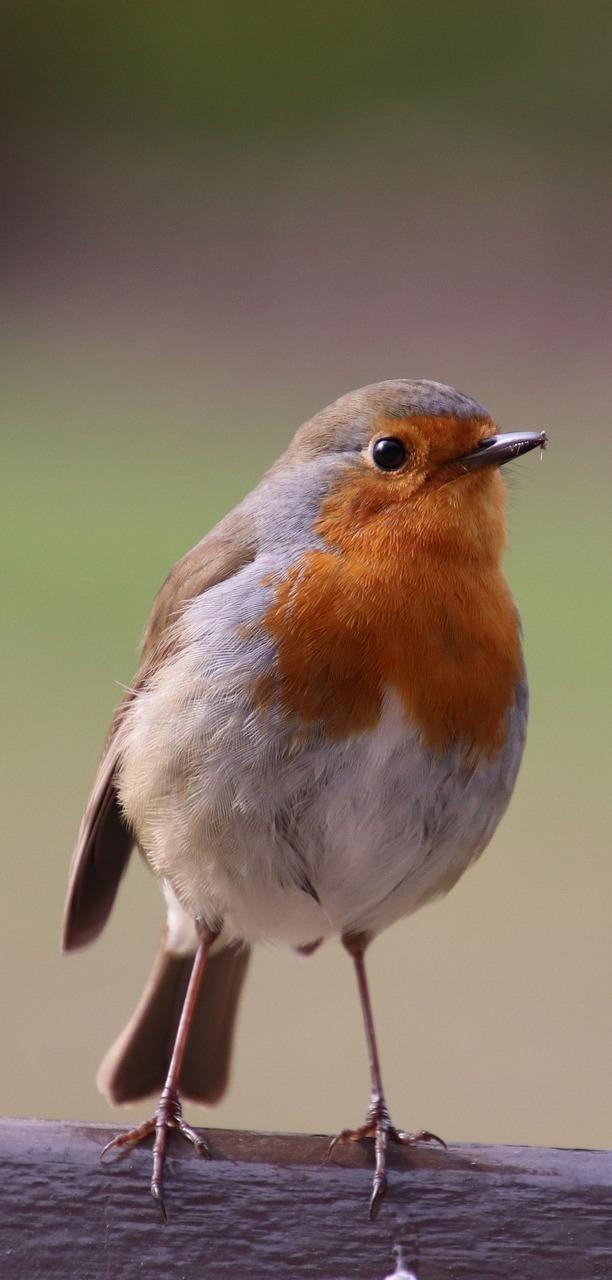 A beautiful robin.