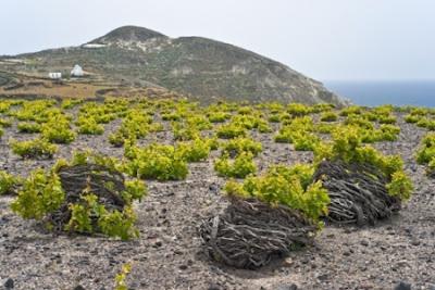 Виноград на Санторини