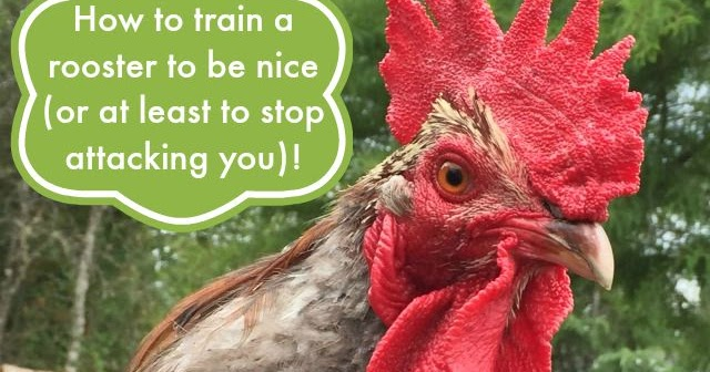 How to train a rooster to be nice (or at least to stop