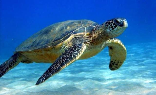 Λιμεναρχείο Ναυπλίου: Περιστατικά επιθέσεων θαλασσίων χελωνών σε ανθρώπους – Μέτρα προστασίας του είδους