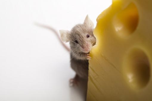 Prawidłowe żywienie myszy