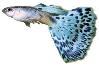 Peixe Guppy (Poecilia reticulata)